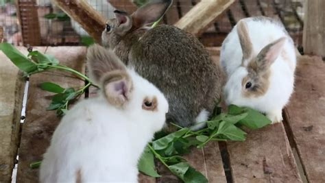 Rabbits Eat Morning Glory In A Cage