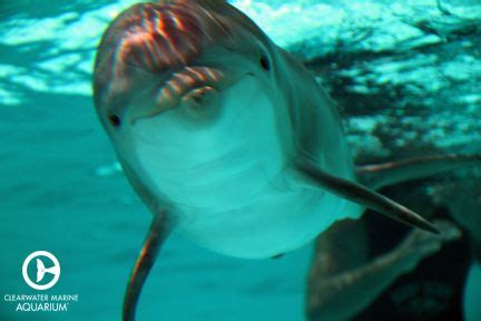 Hope the Dolphin | Clearwater marine aquarium, Dolphins