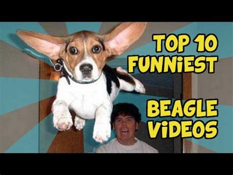 TOP 10 FUNNIEST BEAGLE VIDEOS - YouTube