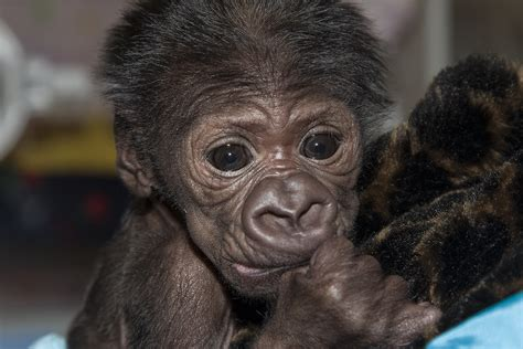 Baby Gorilla On The Upswing, Avoids Hairy Health Situation