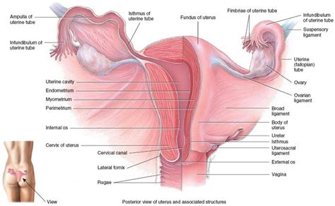 Reproductive system of the female week #14 Flashcards