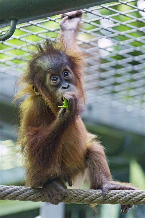 Baby orangutan eating on the rope | Another picture of the